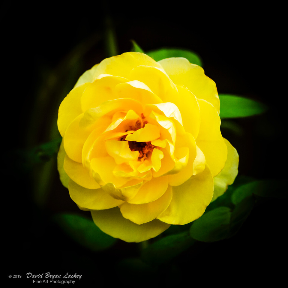Yellow Rose Resurrection 1 by dave.gt in dave.gt