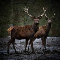 deer by Thorkil