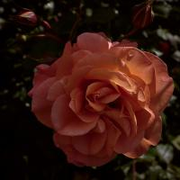 another rose by Thorkil in Thorkil