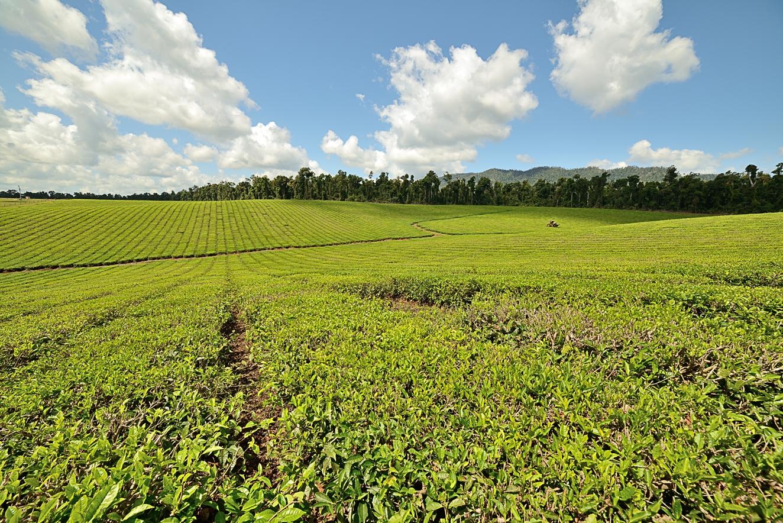 Tea Plantation by Tektrader in Regular Member Gallery