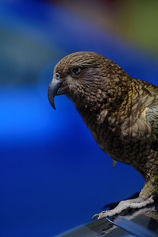 Kea by waynelake in Regular Member Gallery