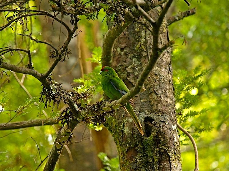 Red Crested Parakeet by waynelake in Regular Member Gallery