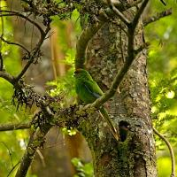 Red Crested Parakeet by waynelake