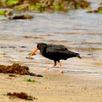 Oyster Catcher by waynelake in Regular Member Gallery