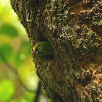 Yellow Crested Parakeet by waynelake in Regular Member Gallery