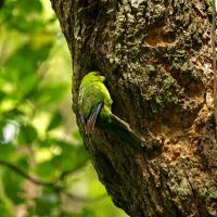 Yellow Crested Parakeet by waynelake