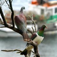 Wood Pidgeon by waynelake