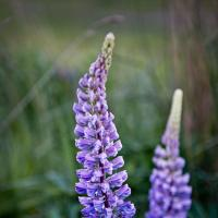 Lupins In Nz by ChrisDauer in 2007 11 - New Zealand