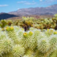 Cholla by MikeScecina in MikeScecina