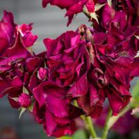 Dying Roses by Shac in Regular Member Gallery