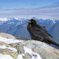 Raven And Mountains by Shac in Regular Member Gallery