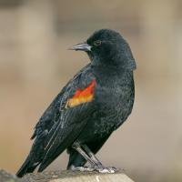 Male Red-winged Blackbird by Shac