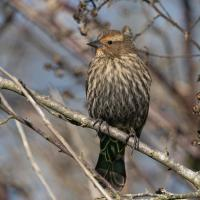 Female Red-winged Blackbird by Shac