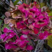 Hydrangea in the fall by Shac in Regular Member Gallery