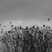 A Murder Of Crows by Shac