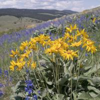 balsam-root and larkspur by Shac