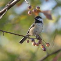 black-capped chickadee by Shac