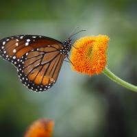butterfly by Shac in Regular Member Gallery