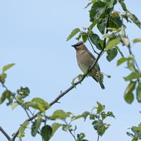 cear waxwing by Shac