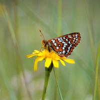 Checker-spot Butterfly