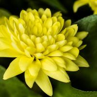 Chrysanthemum by Shac in Regular Member Gallery