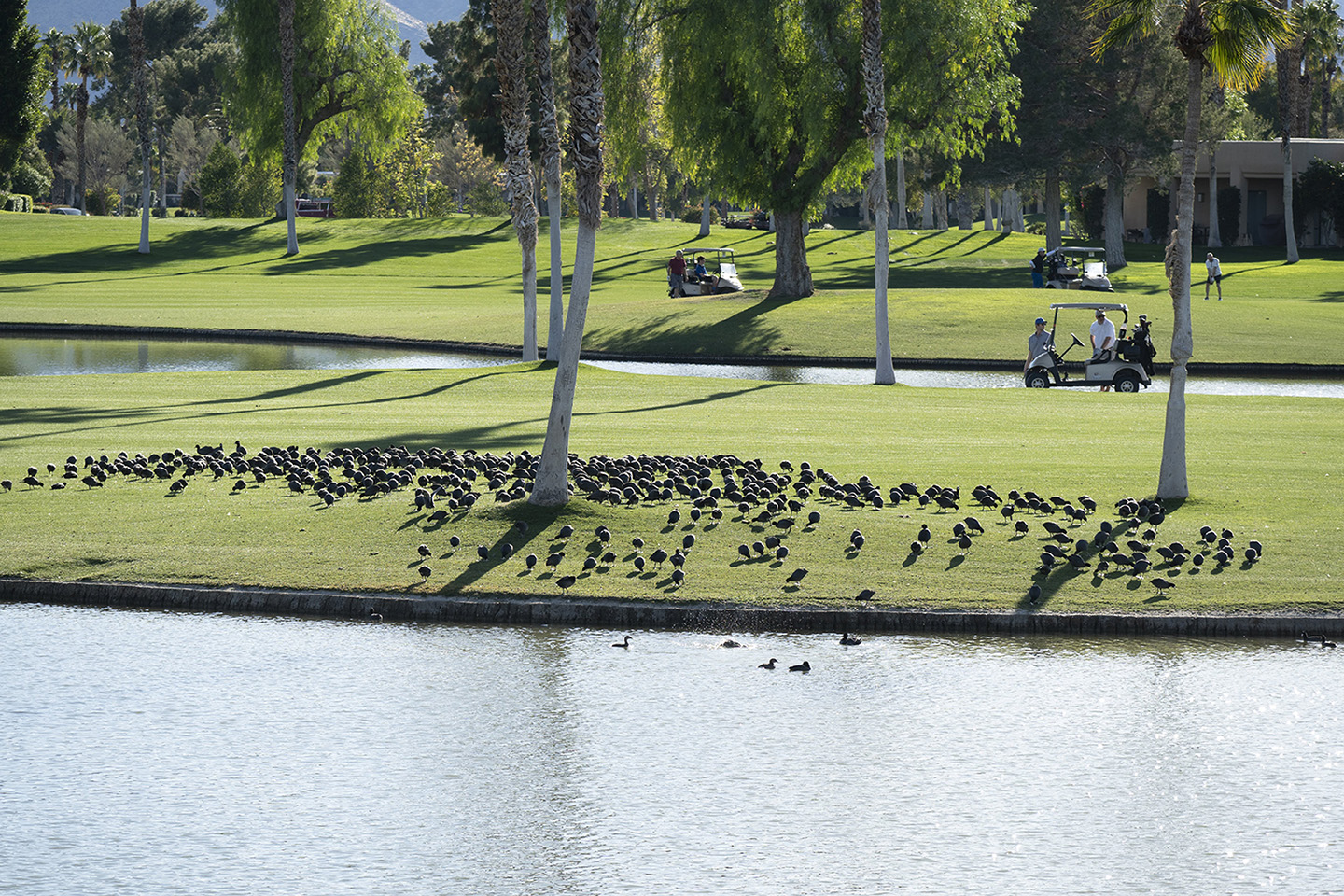 coots and golfers by Shac in Regular Member Gallery