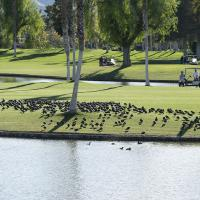 coots and golfers by Shac