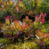 Fall blueberry bush by Shac in Regular Member Gallery