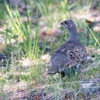 Female Blue Grouse  by Shac in Regular Member Gallery