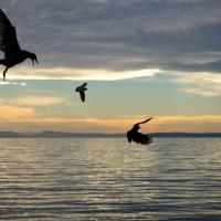 Gulls - Sunset by Shac in Regular Member Gallery