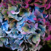 Hydrangea by Shac in Regular Member Gallery