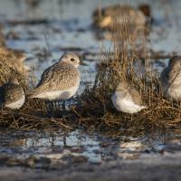 plover by Shac