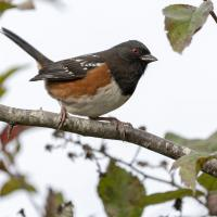 spotted towhee s by Shac