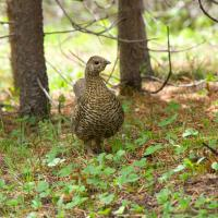 spruce grouse by Shac in Regular Member Gallery