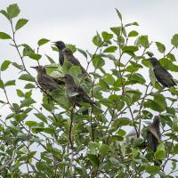 starlings by Shac in Regular Member Gallery