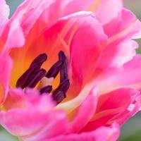 Tulip 2 by Shac