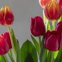 tulips 1 by Shac
