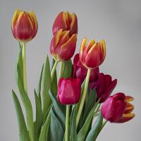 tulips 2w by Shac