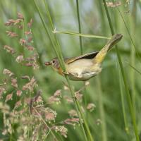yellow throat 4 by Shac in Regular Member Gallery