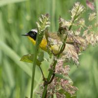 yellow throat 5 by Shac in Regular Member Gallery