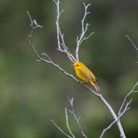 Yellow Warbler by Shac