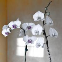 Orchids  by Reynolds in Reynolds Young