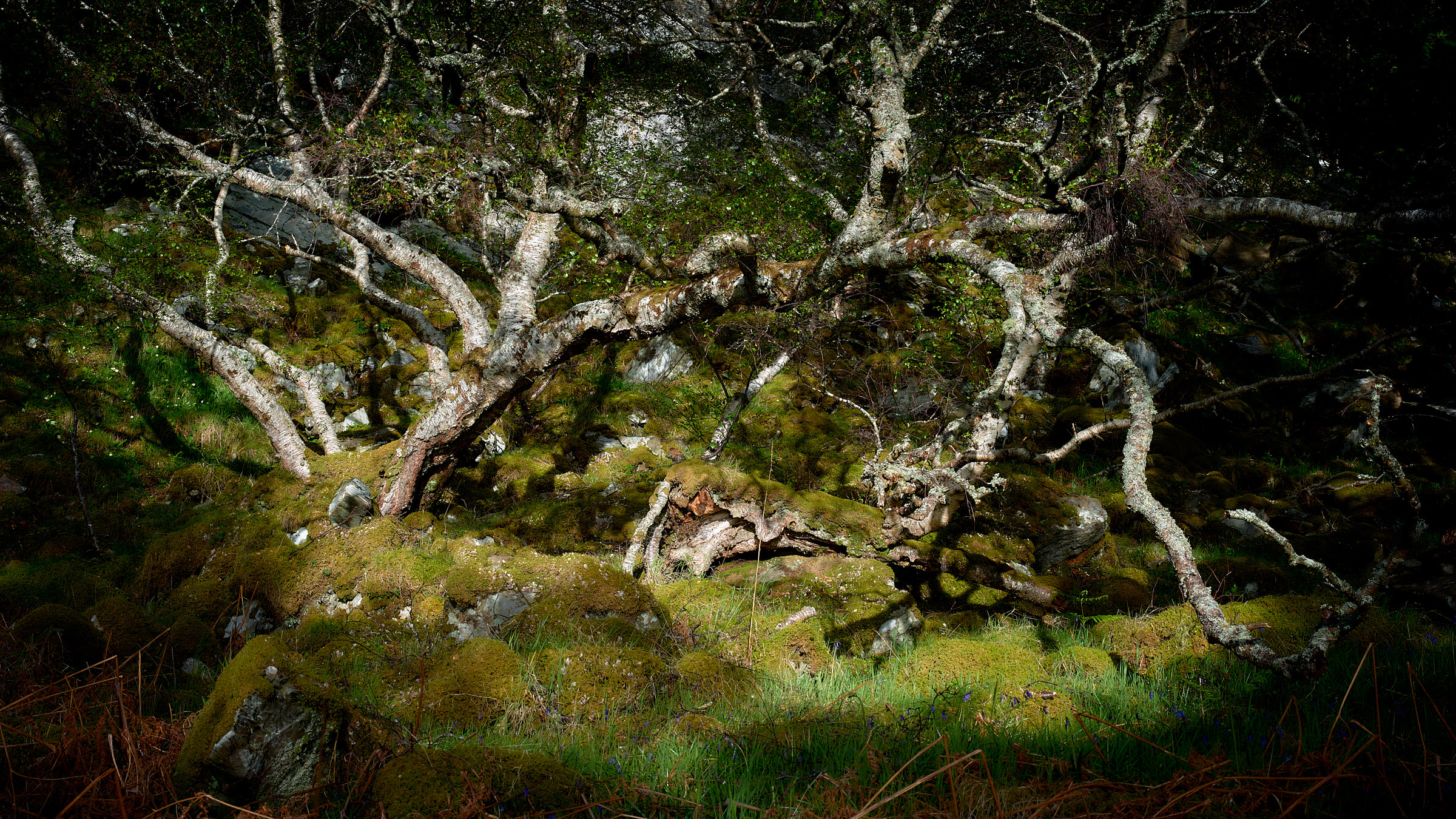 Silver Birch Sutherland by 4*Paul in Regular Member Gallery