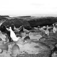 Ducks At Tanah Lot, Bali by Leica 77