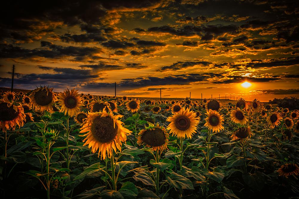 Sunflowers by dobri in Regular Member Gallery