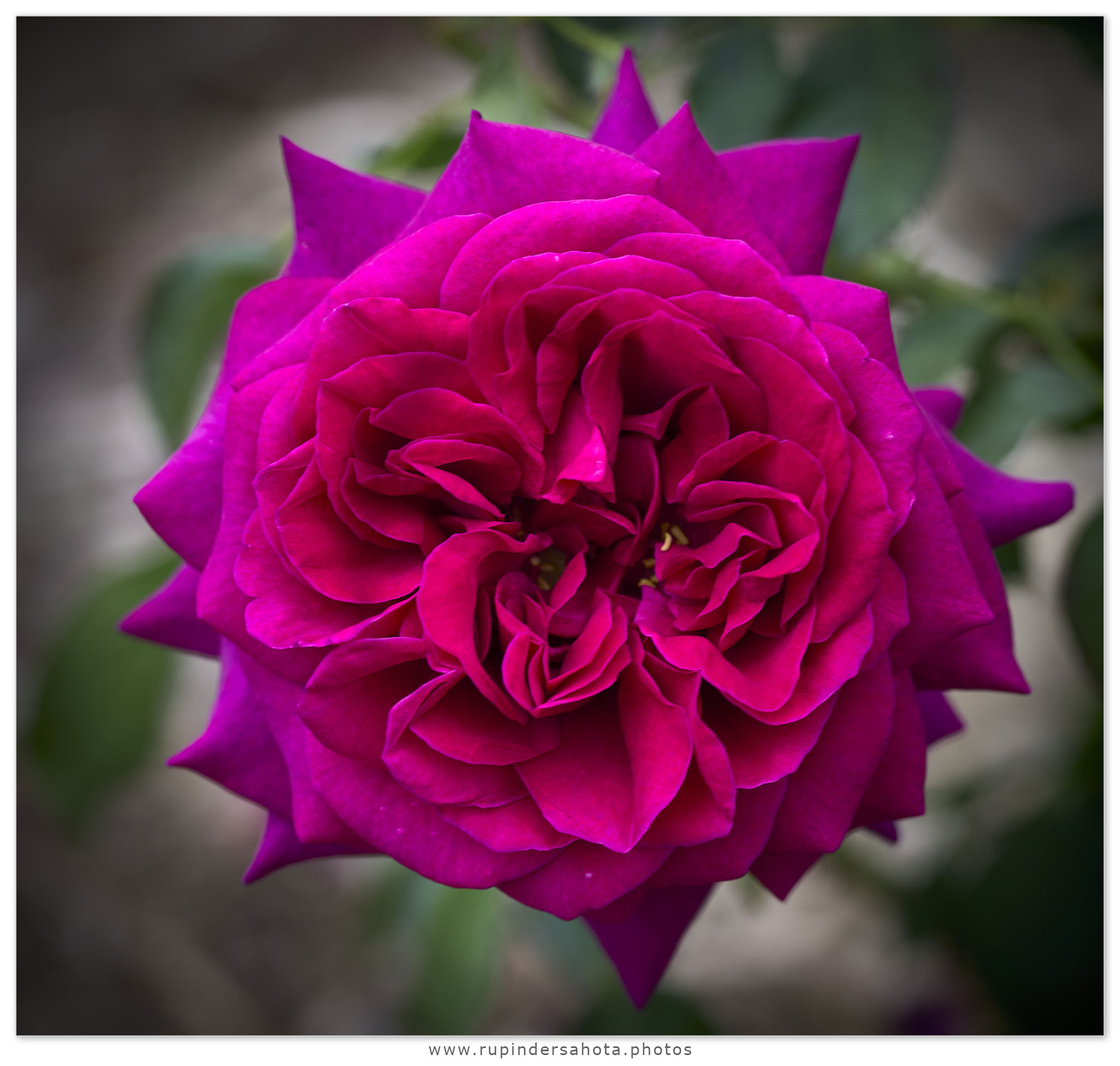 Rose by SahotaR in Regular Member Gallery