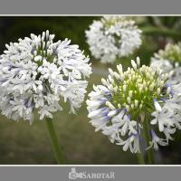 Flowers1 by SahotaR in Regular Member Gallery