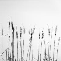 winter cattails by dwood