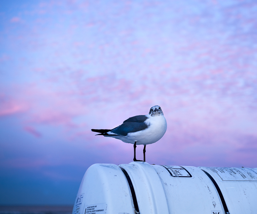 Seagull, Galveston Bay at dusk by eleanorbrown in Regular Member Gallery