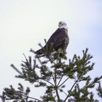 Eagle-1061  Sm2 by BBisset in Regular Member Gallery